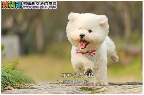 广东便宜出售比熊好养卷毛双血统全国发货