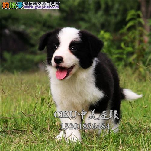 广东犬舍边牧顶级包纯种保健康全国发货