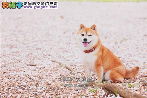广东出售柴犬纯种忠厚犬双血统全国发货