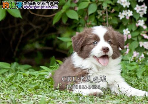 广东最大犬舍边牧小幼犬双血统全国发货
