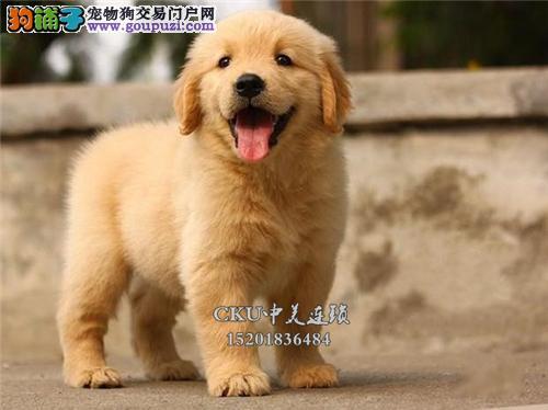 上海出售金毛新生帅气全国包运全国发货