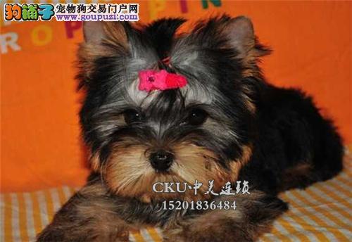 广东约克夏漂亮可爱犬可视频挑选全国发货