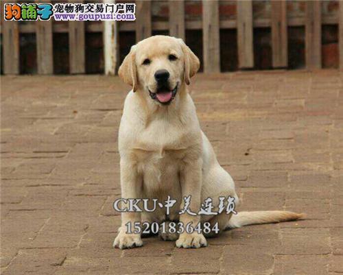 浙江最大犬舍拉布拉多聪明犬全国发货