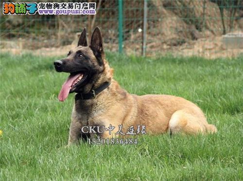 cku认证犬舍 诚信经营 赛级品质 一宠一证 可上门挑选