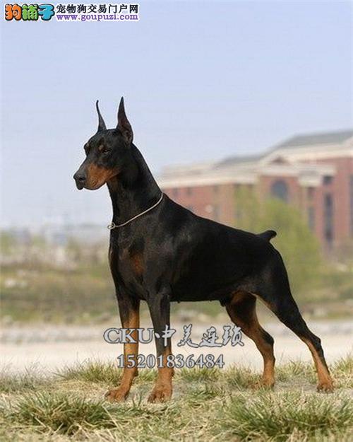 浙江本地出售杜宾乖巧犬全国发货