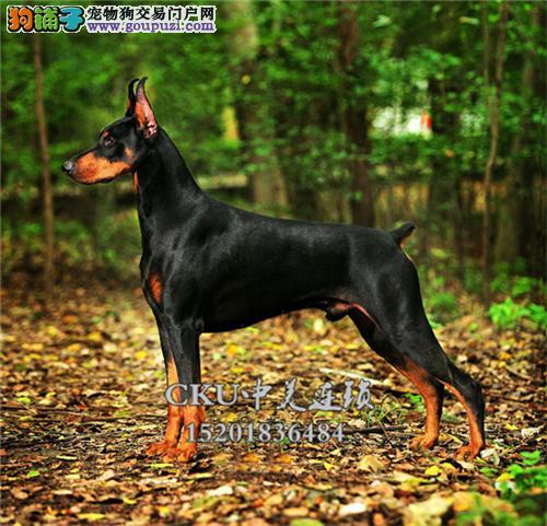 浙江犬舍杜宾低价出售幼犬待售全国发货