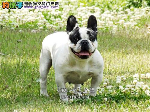 浙江法牛帅气小狗狗血统纯正全国发货