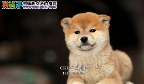 浙江柴犬听话帅气微笑狗狗带证书全国发货