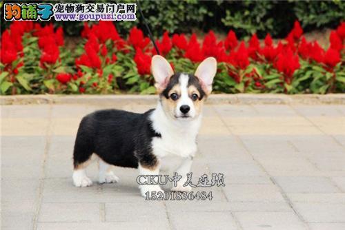 浙江专业繁殖法牛极品出售幼犬全国发货