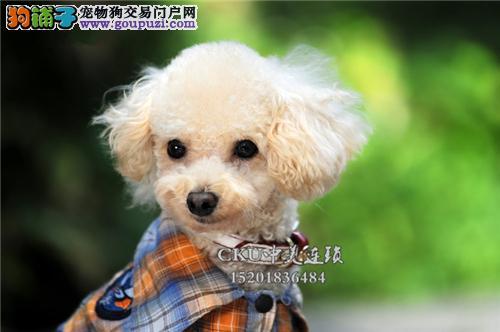 四川出售泰迪极品健康熊全国发货