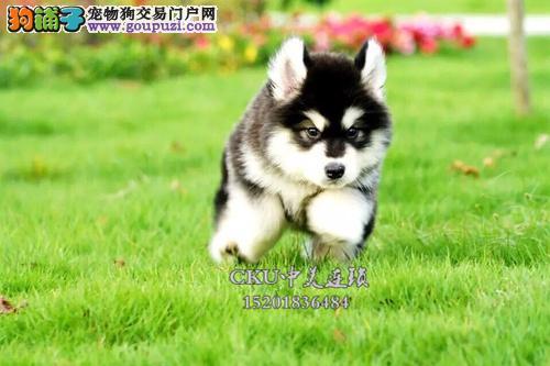 四川阿拉斯加可爱巨型犬保健康全国发货