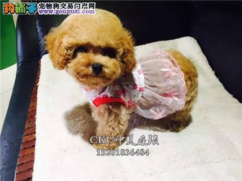 四川泰迪健康聪明小熊保健康全国发货