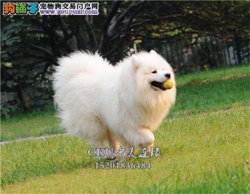 河南正规犬舍萨摩耶高品质澳版全国发货