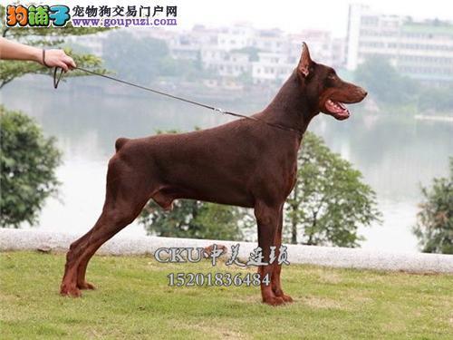 河南最大犬舍杜宾顶级乖巧包纯种全国发货