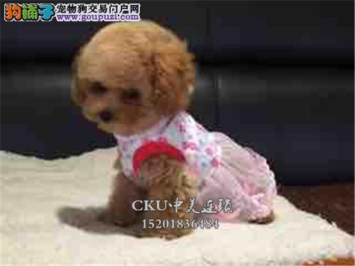 河南犬舍泰迪帅气健康小体幼犬全国发货