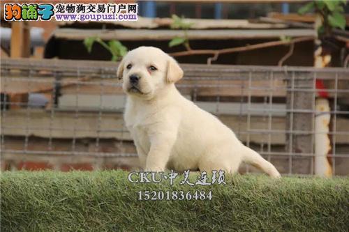 河南最大犬舍拉布拉多神犬保健康全国发货