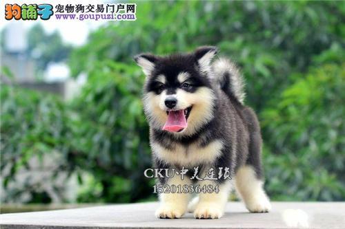 云南家养阿拉斯加极品三个月犬全国发货