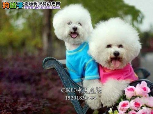 云南比熊高品相赛级小犬驱虫已做全国发货
