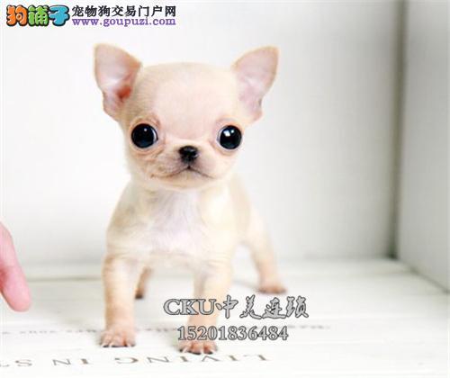 云南出售吉娃娃乖巧三个月带证书全国发货