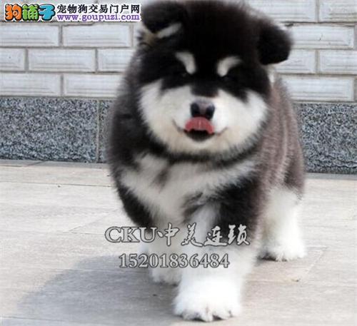 安徽出售阿拉斯加健康可爱熊版犬全国发货