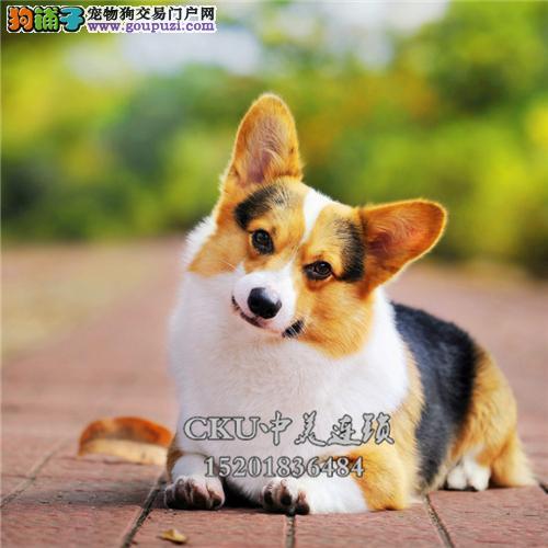 云南出售柯基可爱犬全国包运全国发货