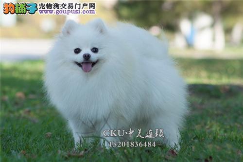 安徽柯基极品专业繁殖幼犬待售全国发货