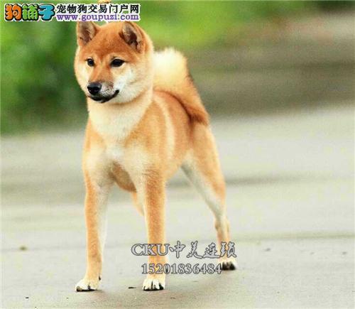 云南家养柴犬顶级三个月犬保健康全国发货