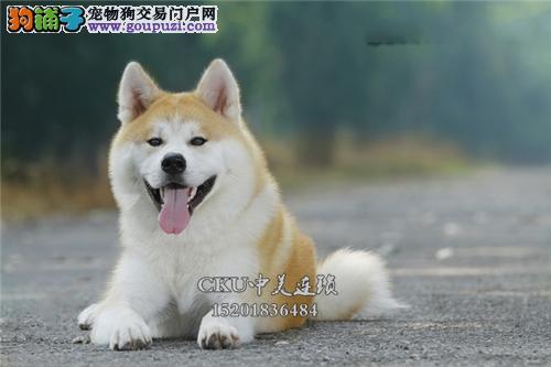 云南出售秋田听话甜美血统纯正全国发货