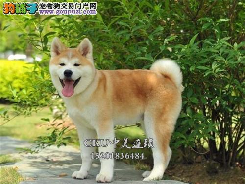 云南专业繁殖秋田极品帅气甜美犬全国发货