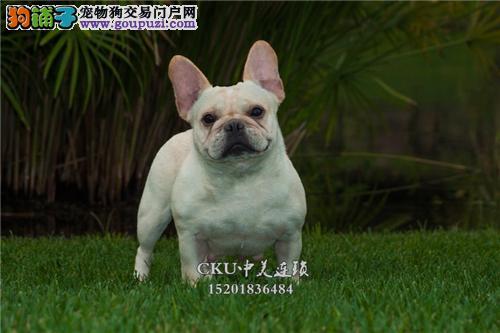 云南出售法牛帅气好养法国斗牛犬全国发货