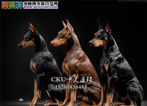 云南杜宾骨量足灵性犬驱虫已做全国发货