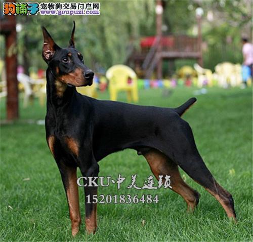云南杜宾活泼可爱自家养幼犬全国发货