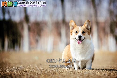 云南专业繁殖柯基漂亮三个月全国发货