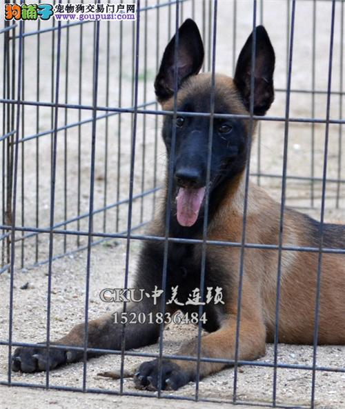 湖北家养马犬纯种带证书全国发货