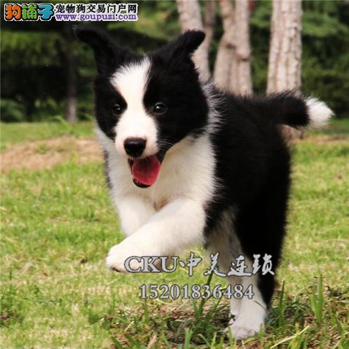 福建边牧高品质咖啡色幼犬包纯种全国发货