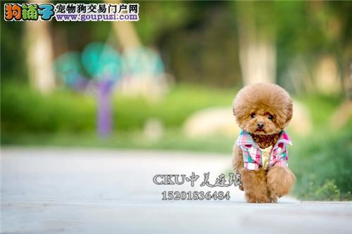 福建犬舍泰迪可爱帅气玩具犬全国发货