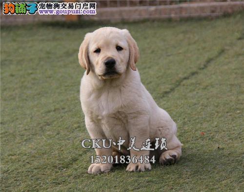 福建本地出售拉布拉多顶级幼犬全国发货