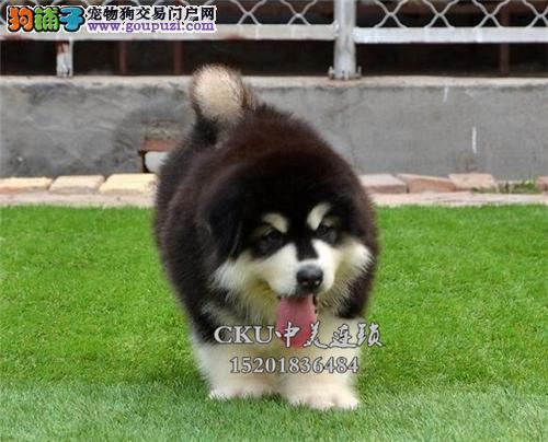 广东阿拉斯加小狗狗包纯种双血统全国发货