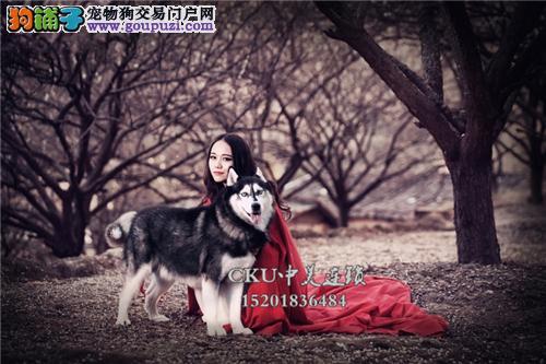 天津专业繁殖阿拉斯加顶级小犬全国发货
