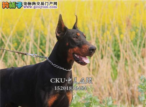天津杜宾漂亮三个月犬保健康全国发货