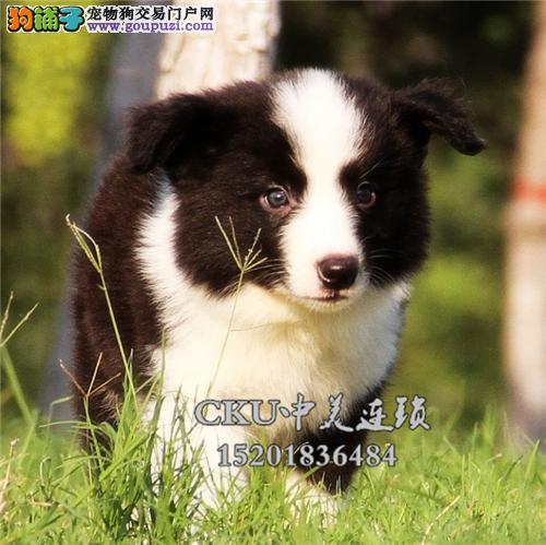 广东犬舍边牧高品相健康包纯种全国发货