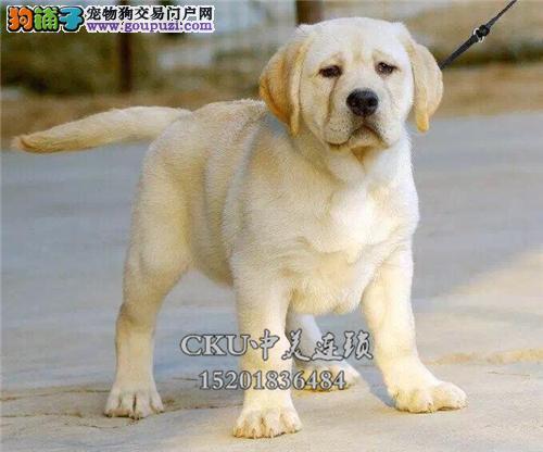 天津最大犬舍拉布拉多出售好养全国发货