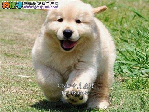 广东正规犬舍金毛漂亮双血统全国发货