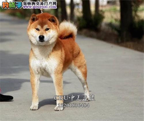 广东家养柴犬精品微笑找新家全国发货