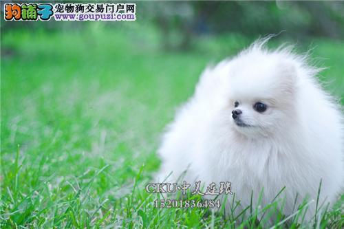 天津博美漂亮小白雪公主公母均有全国发货