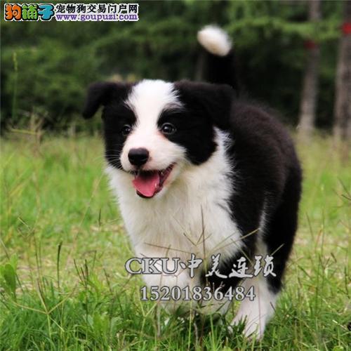 广东家养边牧可爱纯种幼犬全国发货