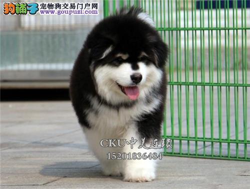天津出售阿拉斯加健康可爱熊版犬全国发货