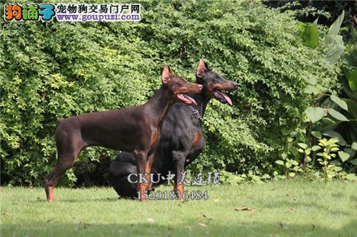 新疆哪里有杜宾新生德系幼犬待售全国发货