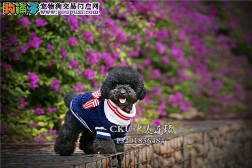 新疆正规犬舍泰迪高品质带证书全国发货