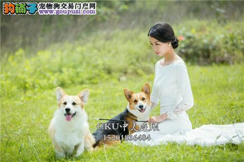 新疆家养柯基纯种健康威尔士犬全国发货